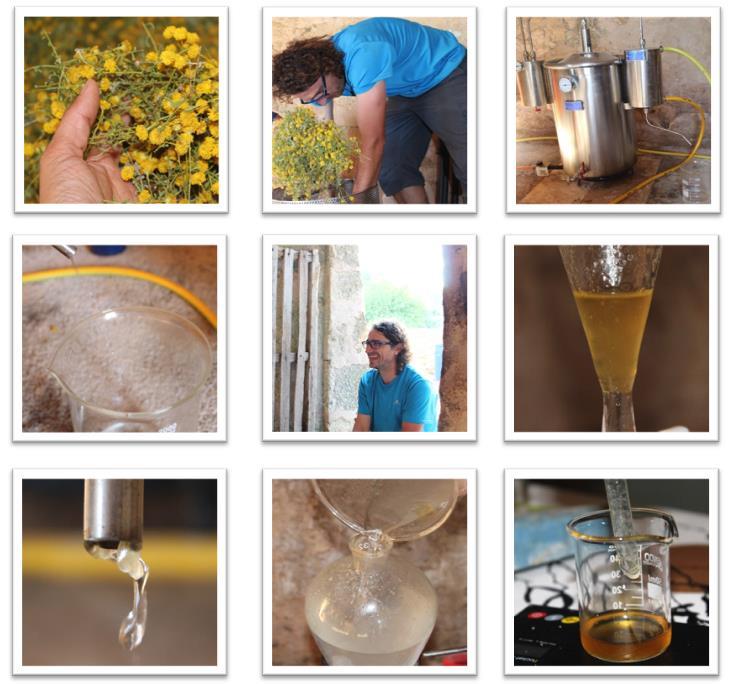 destilacion_santolina